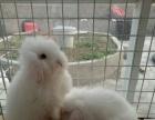 长毛宠物垂耳兔