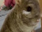 健康灰色龙猫DD4个月大