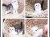 广州宠物猫 英短蓝猫