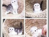 广州宠物猫 英短蓝猫 可上门挑选 送货上门