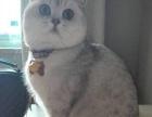 英短银渐层萌猫咪