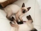 三个月大自家繁育暹罗猫