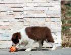 适合家庭饲养边境牧羊犬多少钱 要纯一点的