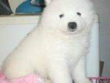 出售纯种善良忠诚带有天使般甜美微笑的萨摩宝宝