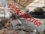 乳鴿 老鴿 鴿蛋批發零售