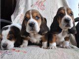 精品巴吉度猎犬包纯种保健康签协议出售全国可飞可上门