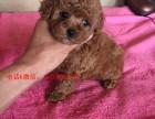 张家港哪里买到健康的泰迪幼犬 张家港玩具体泰迪幼犬多少钱
