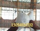 定西出售好看不贵的观赏鸽,自养仙女鸽,高飞鸽,海盗球,马甲球