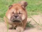 松狮 品质优 品种赞 让你无可挑剔 健康质保