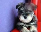 大连出售纯种雪纳瑞幼犬活体小体老头子雪纳瑞幼犬