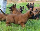 3个月的马犬多少钱一只 现在马犬的价格
