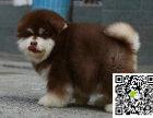阿拉斯加犬 阿拉斯加犬价格 阿拉斯加雪橇犬出售