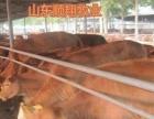波尔山羊黑山羊西门塔尔牛黄牛苗 种植养殖
