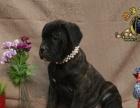 纯种意大利纯血统重头版的卡斯罗护卫犬卡斯罗犬幼犬出售