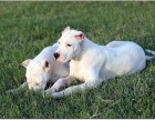 高品质繁殖基地出售纯血统高品质杜高幼犬 公母都有