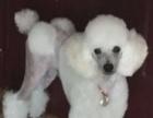 白色纯种贵宾犬配种