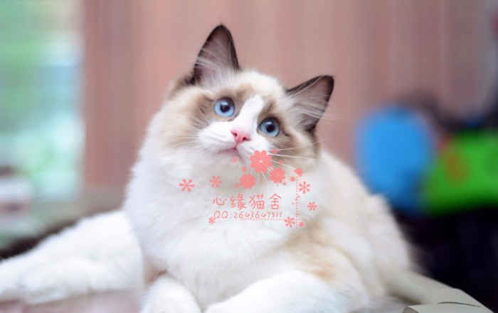 济南哪里有卖布偶猫,两个半月布偶猫多少钱一条