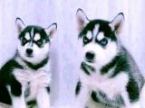 东莞 出售纯种哈士奇犬 狗狗出售 可签协议质保健康