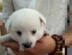 自家养的纯种银狐犬,一针英特威,价格优惠,价格优惠