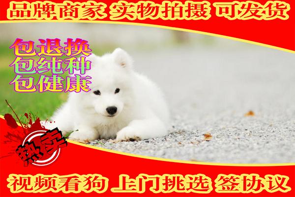 澳版萨摩耶幼犬 骨量大 毛量佳 健康质保可签协议
