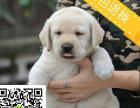 本地犬舍出售神犬小七同款拉布拉的多