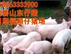 三元苗猪批发基地、山东仔猪基地、山东苗猪,免费送猪到家,包送