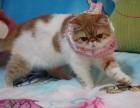 纯种加菲猫找妈妈 纯血统 高品质