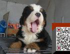 纯种德系伯恩山牧羊犬一一质量保证三个月 签协议