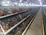 青年鸡养殖场山东哪里供应的青年鸡价格优惠