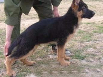 佛山市哪里德国牧羊犬 佛山市哪里有卖德国牧羊犬幼犬