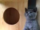 蓝猫,已做疫苗驱虫,签协议,保健康终身售后