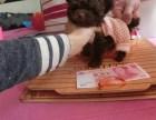 可货到付款 可实地挑选 专业繁殖泰迪犬 签协议