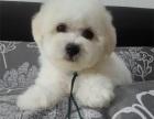 买狗找我 哈尔滨哪里有卖纯种比熊,比熊多少钱?
