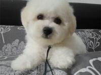 推荐犬舍 上海哪里有卖纯种比熊,比熊多少钱