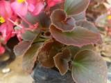 日照草花批发园林花卉宿根花卉供应哪卖时令草花百日草长春花便宜