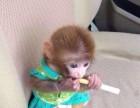 袖珍石猴宠物猴的养殖场在哪里有