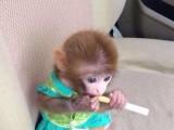 袖珍石猴寵物猴的養殖場在哪里有