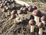 基地直供 菌种栽培种 酒红球盖菇皱球盖菇大球盖菇栽培种批发