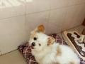 诚心领养一只小体狗狗
