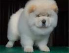 纯种松狮犬 宠物狗狗松狮幼犬肥嘟嘟3个月包健康