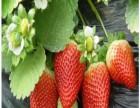 草莓苗价格 草莓苗品种 草莓苗批发 草莓苗种植技术