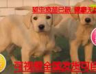 犬舍专业繁殖包纯种保健顶级繁殖基地出售纯种拉布拉多幼犬 神犬