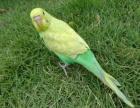 江蘇 虎皮鸚鵡 (藍色,綠色,黃色,白色,云斑)