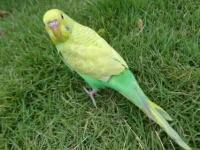 浙江 虎皮鹦鹉 (蓝色,绿色,黄色,白色,云斑)