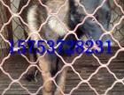 带血统的马犬多少钱,纯种马犬幼犬的价格,马犬的图片