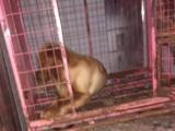 金毛狗狗纯种的母狗狗