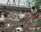 矮脚、泰国白桂鸡、观赏鸡出售