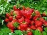 天津蓝莓树苗价格