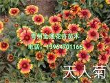 潍坊信誉好的天人菊供应商推荐|哪里的天人菊成活率高
