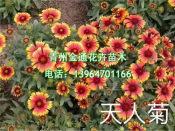 天人菊培育基地-专业的天人菊供应商就在潍坊